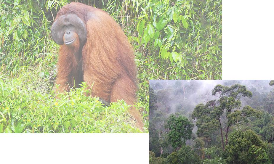オランウータンの森再生プロジェクトのイメージ